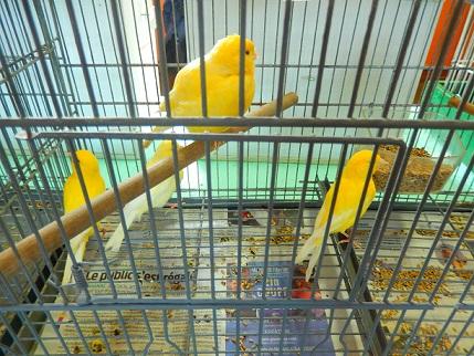 Canaris jaune