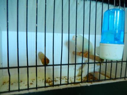 Canaris blancs