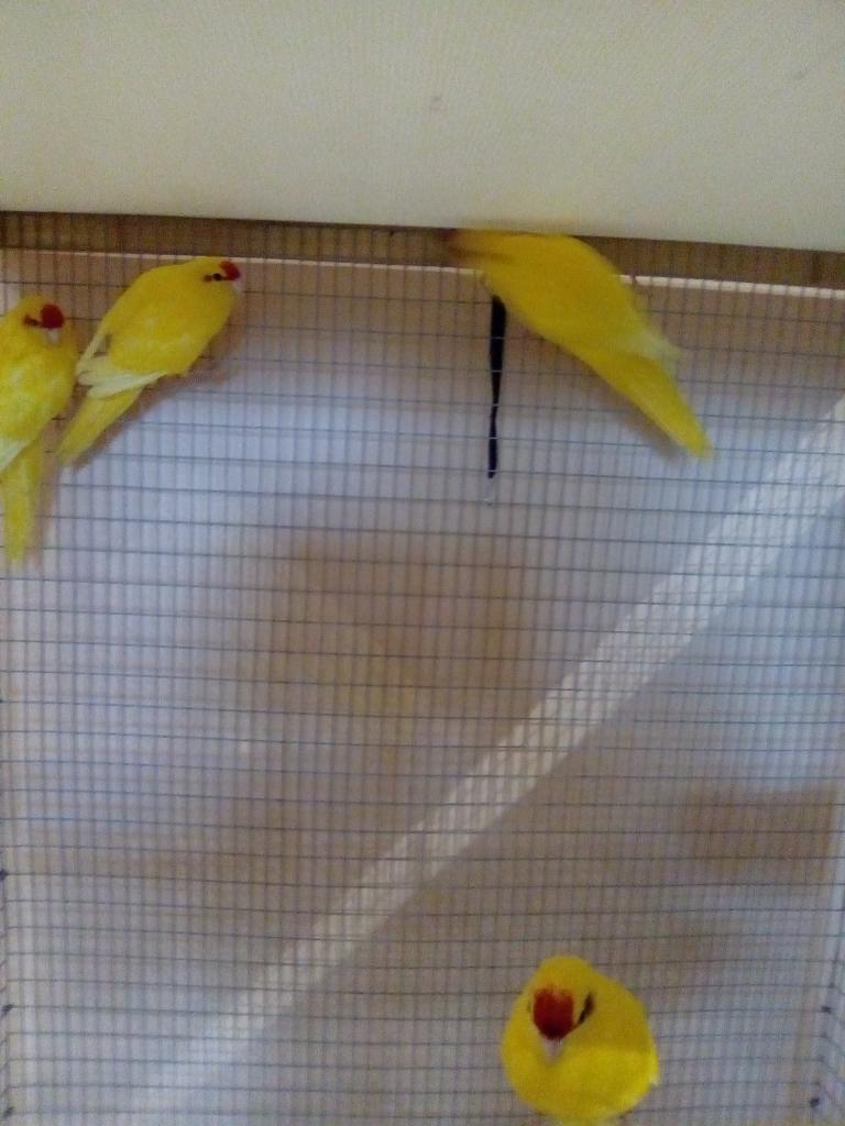 kakariki jaune